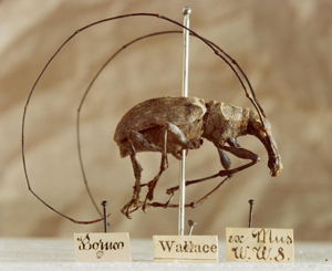 Fungus weevil (Anthribidae) collected in Sarawak, Borneo. © National Museum of Wales, Cardiff & Fred Edwards